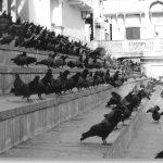 Les deux Pigeons, François Delamaestre